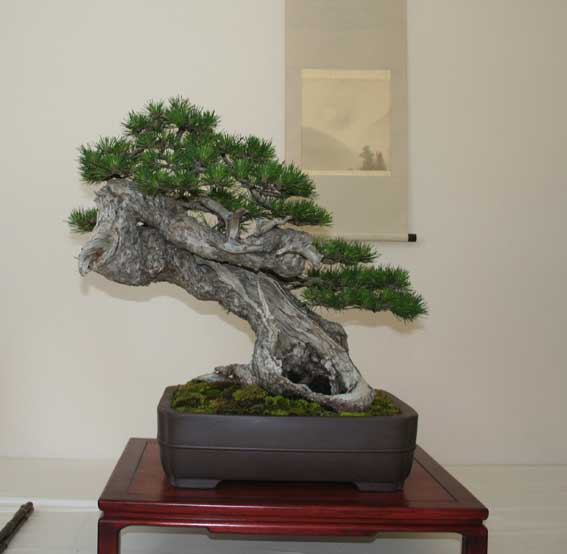 http://www.espritsdegoshin.fr/components/com_agora/img/members/51001_Pinus-uncinata-1.jpg