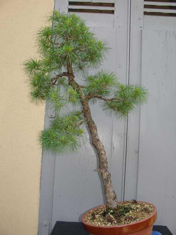 http://www.espritsdegoshin.fr/components/com_agora/img/members/70647_Pinus_Parviflora_20ans-20060416-63.JPG