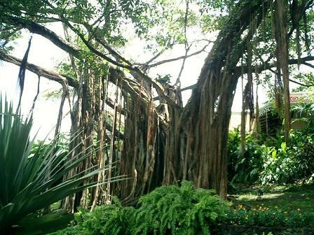 http://www.espritsdegoshin.fr/components/com_agora/img/members/80519_4G1007_arbre_figuier_banian.jpg