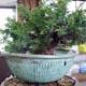 bestof bonsai