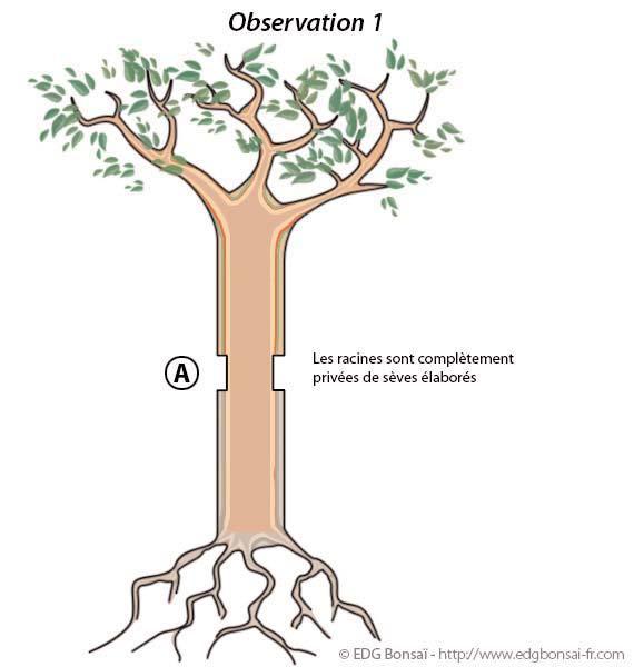 La marcotte de a z - Comment s occuper d un bonsai ...