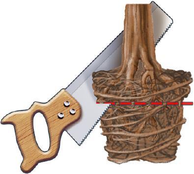 Le rempotage - Comment tailler un bonsai ...
