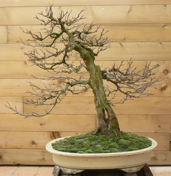 Pr paration d 39 un bonsa pour une exposition Creation bois objet pratique esthetique
