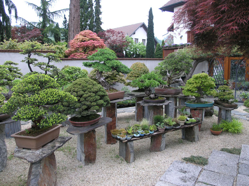 Visite chez pius notter for Bonsai de jardin